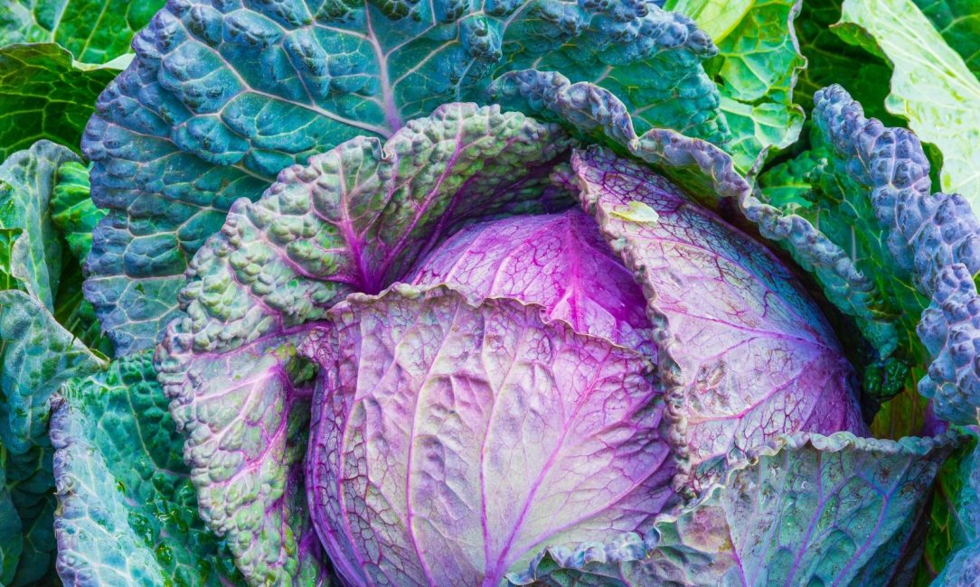cabbage-vegetable-power-green-vegetables-healthy