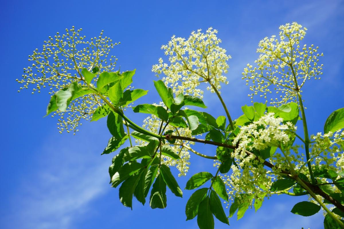 black-elderberry-elderflower-branch-road-white