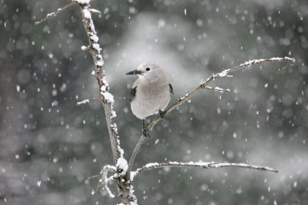 clarks-nutcracker-bird-perched-snow-winter